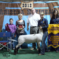 Allen Show Lambs Contact Us For Your Next Champion